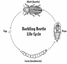 Free Mealworm Cliparts, Download Free Clip Art, Free Clip
