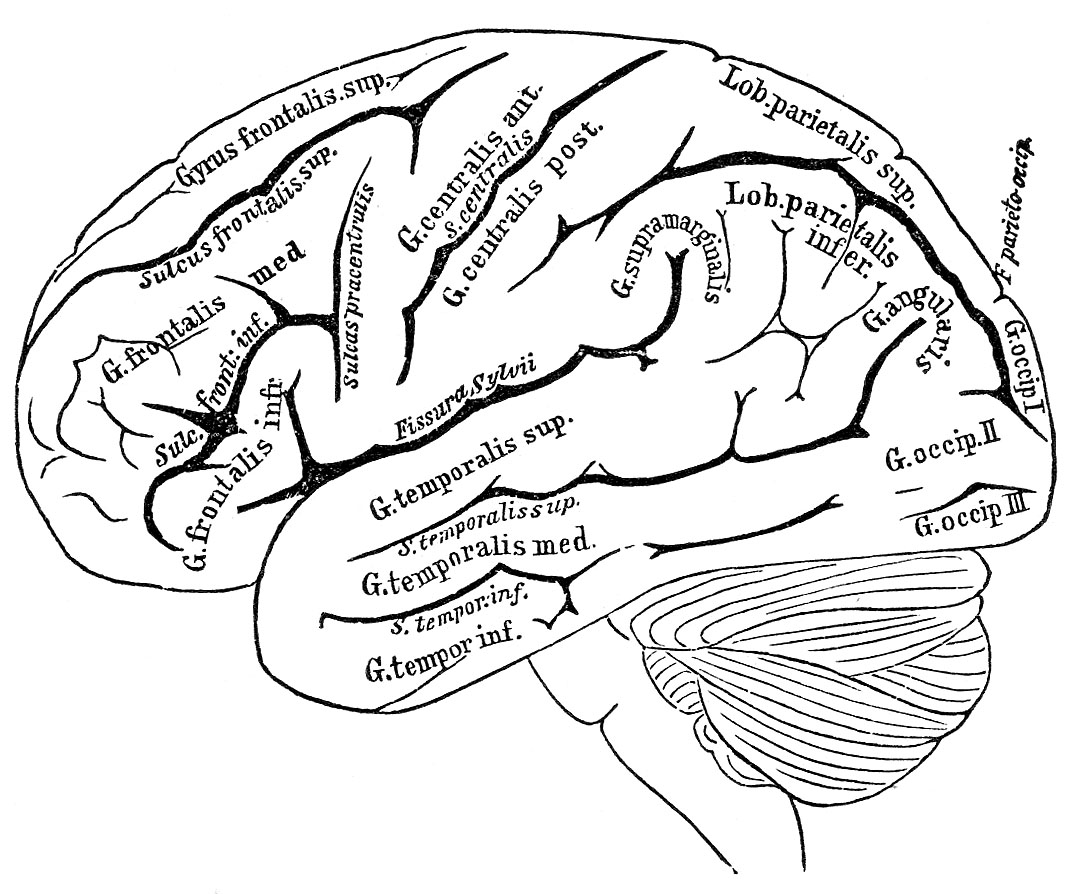 Free Brain Drawing Cliparts Download Free Clip Art Free