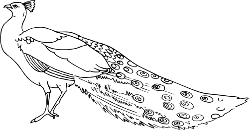 small resolution of peacock clipart 3