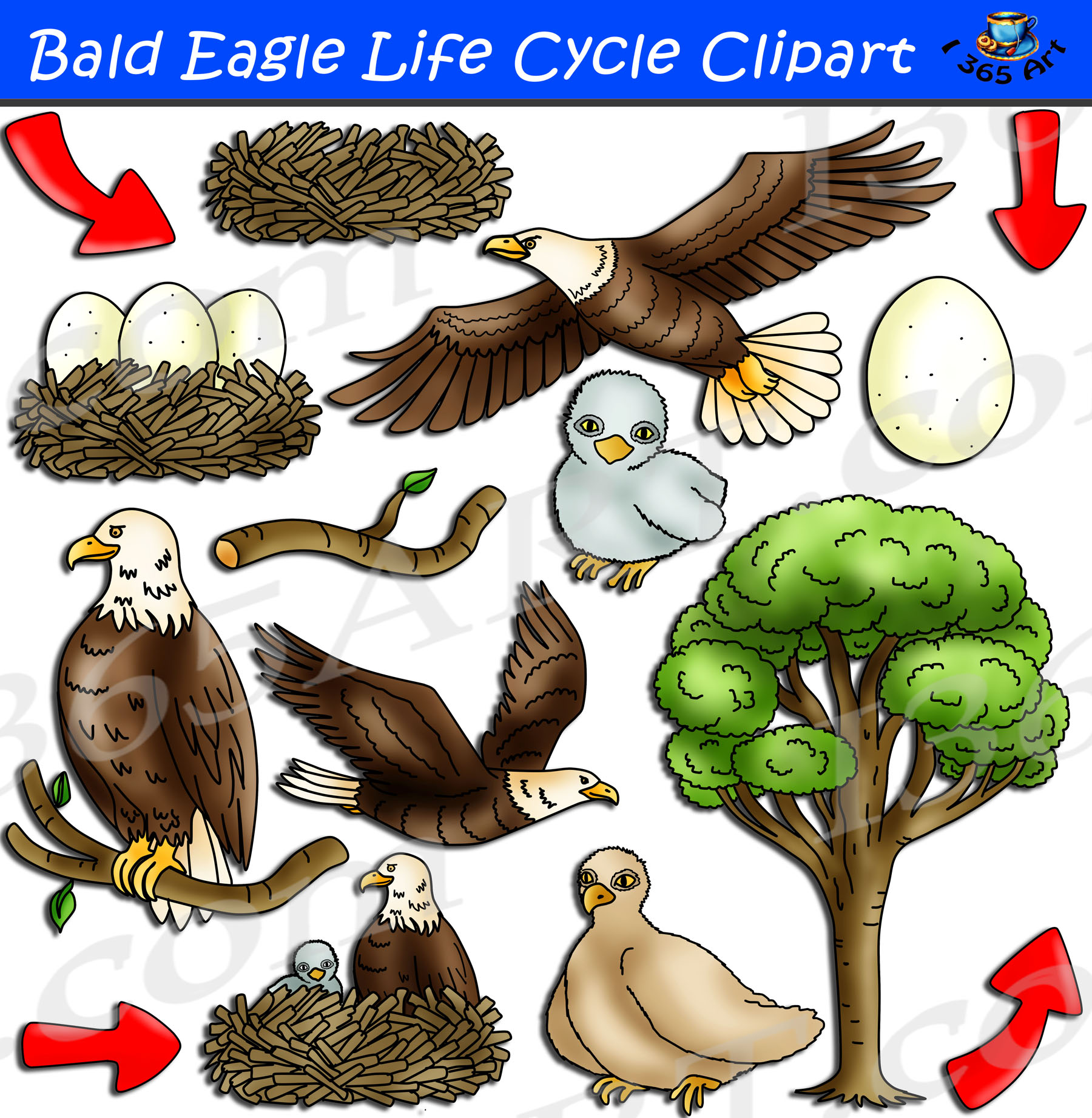 Bald Eagle Life Cycle Clipart Set