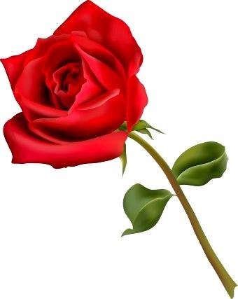 Bunga Mawar Pink Png : bunga, mawar, Setangkai, Bunga, Mawar, ClipArt