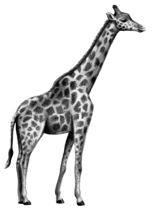 giraffe drawing pencil drawn ladybug realistic clipartpanda clip clipart graphite panda clipartmag