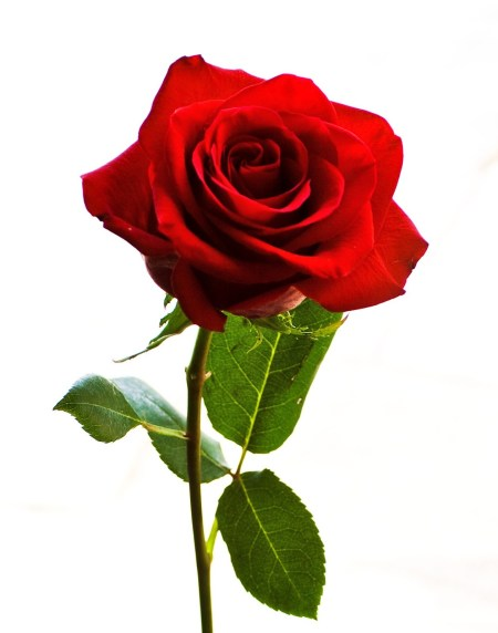 Gambar Bunga Ros : gambar, bunga, Setangkai, Bunga, Mawar, ClipArt