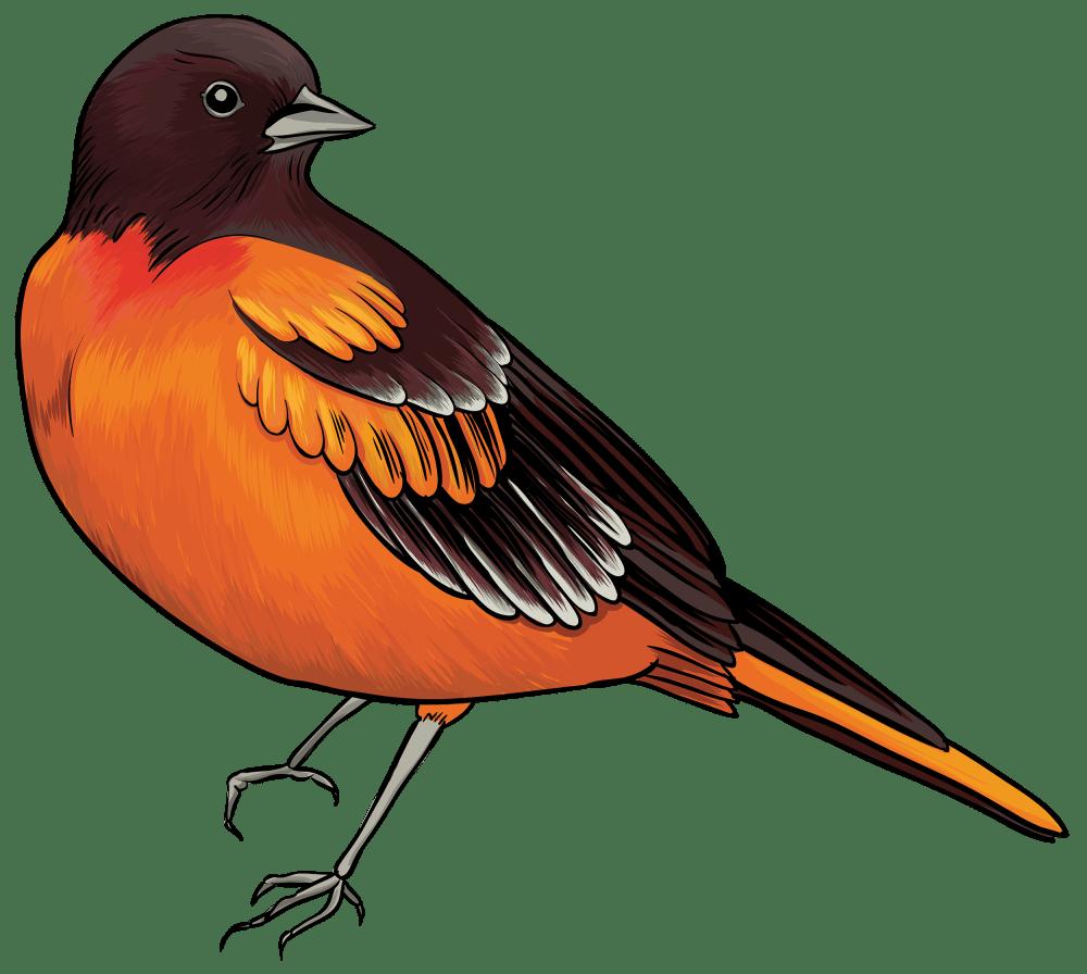 medium resolution of black and orange bird clipart web clipart