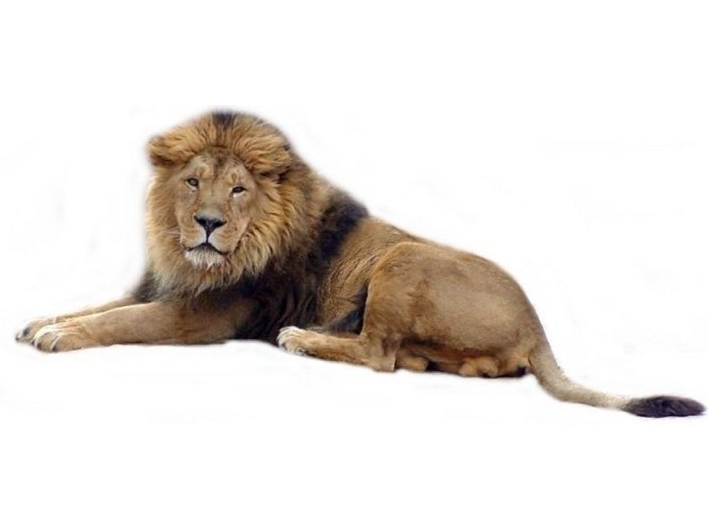 hight resolution of lion clip art black and white free clipart images clipartix