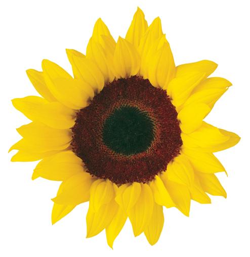 sunflower clip art free printable