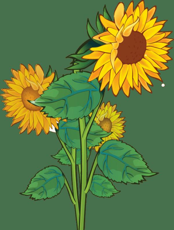sunflower clip art clipart
