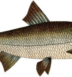free fish clip art the graphics fairy [ 1800 x 768 Pixel ]