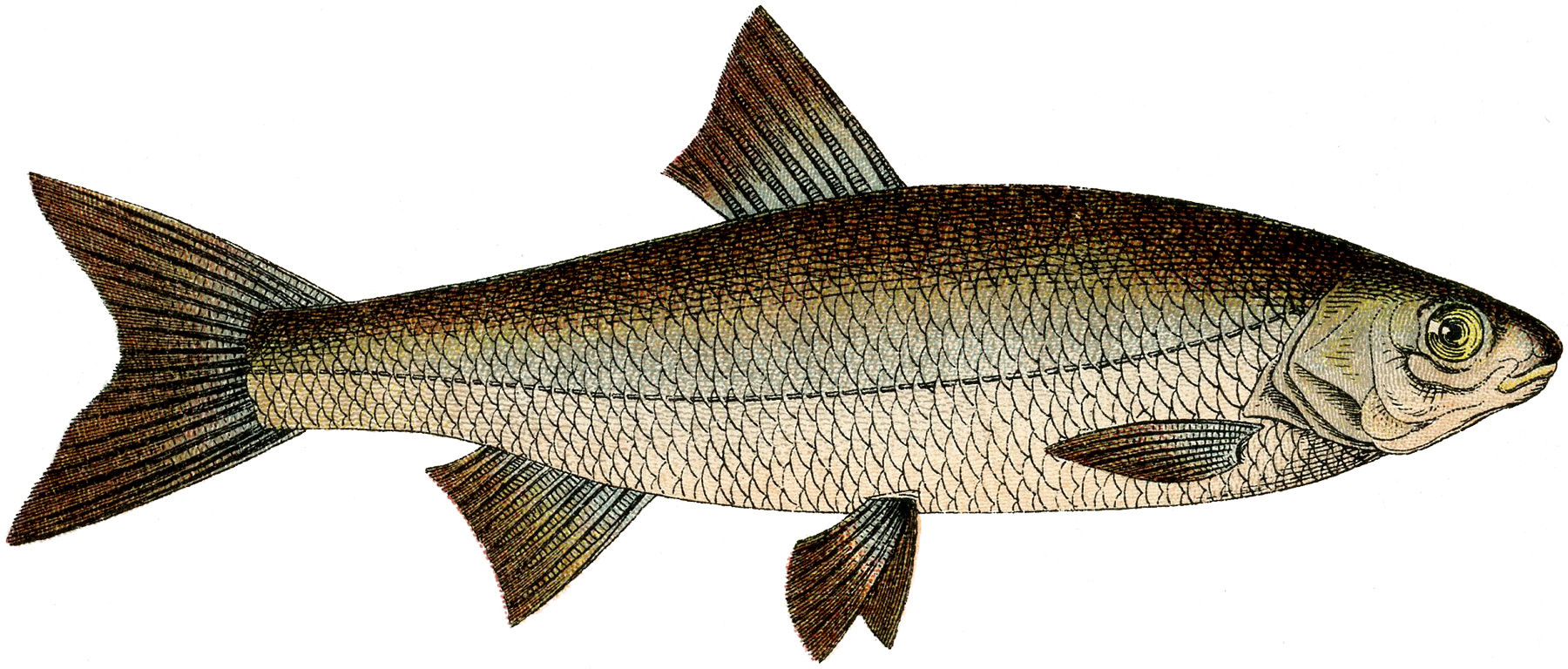 hight resolution of free fish clip art the graphics fairy