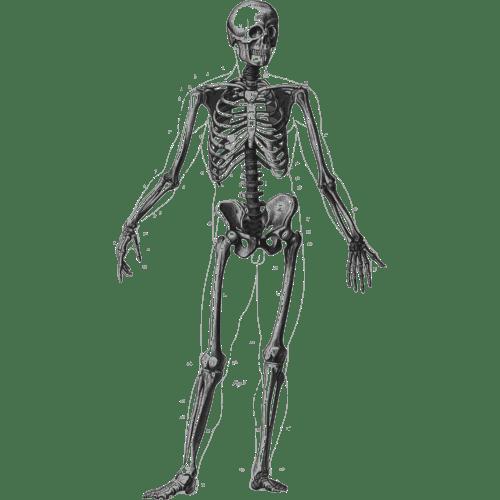 small resolution of human clipart human skeleton