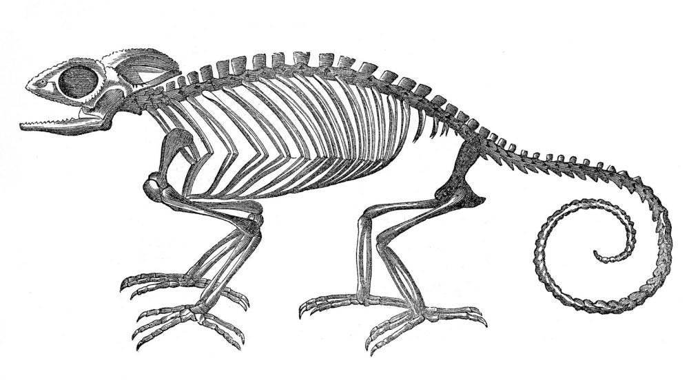 medium resolution of vintage clip art strange chameleon skeleton halloween the clipartcow
