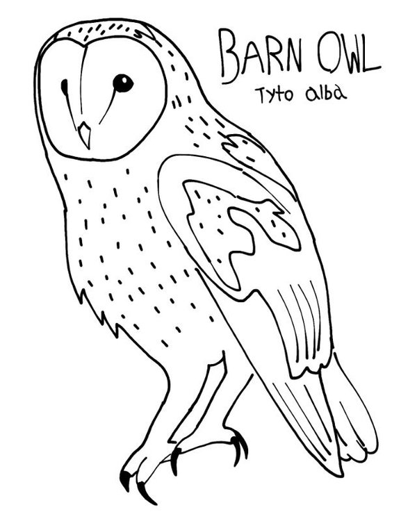 barn outline Barn owl colouring page by projectowl on
