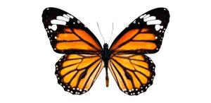 butterfly drawing drawings step butterflies monarch flower draw clipartmag realistic easy