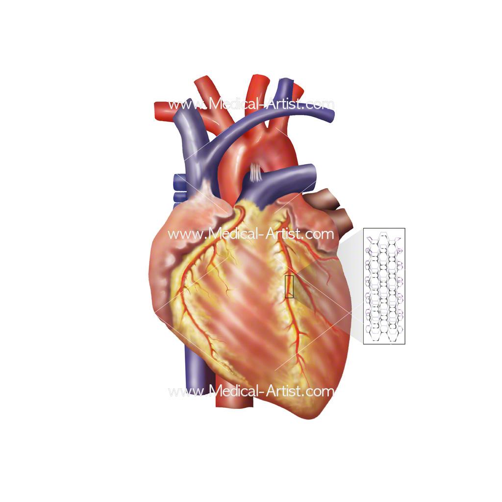 Cardiovascular System Drawing