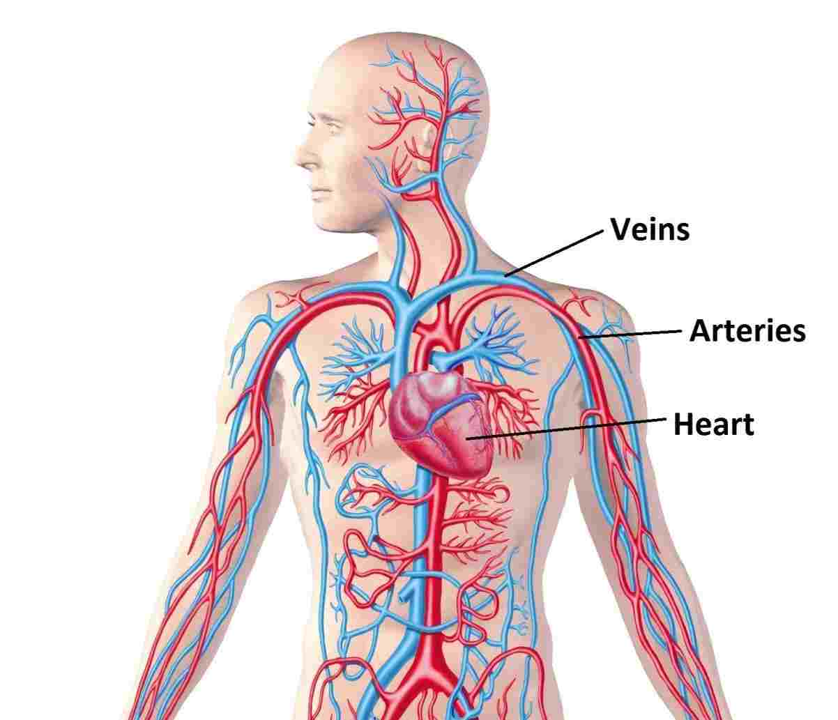 Circulatory System Drawing