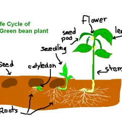 1024x768 life cycle of a green bean plant life cycle showme [ 1024 x 768 Pixel ]