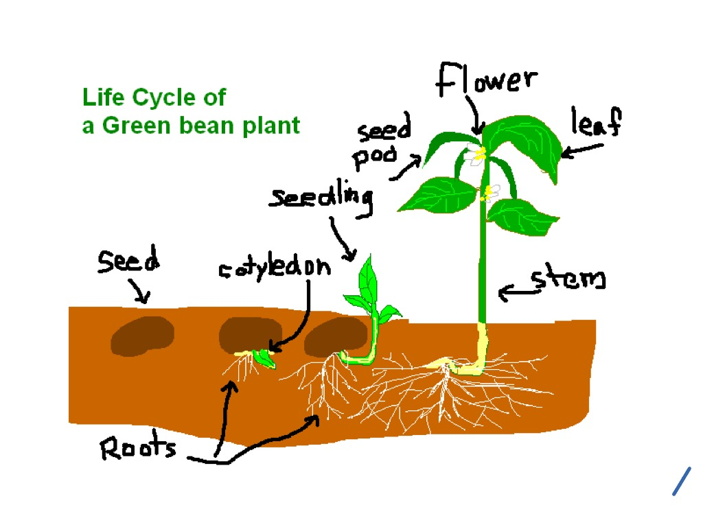 hight resolution of 1024x768 life cycle of a green bean plant life cycle showme