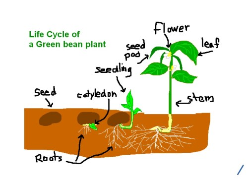small resolution of 1024x768 life cycle of a green bean plant life cycle showme