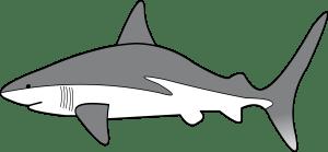 shark clipart drawing simple sharks easy transparent reef clip fin grey belly threat display requiem lanternshark velvet caribbean data clipartmag