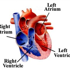 Anatomical Heart Diagram Ford Econoline Wiring Pictures Free Download Best 1024x888 Chambers Inside Of Human
