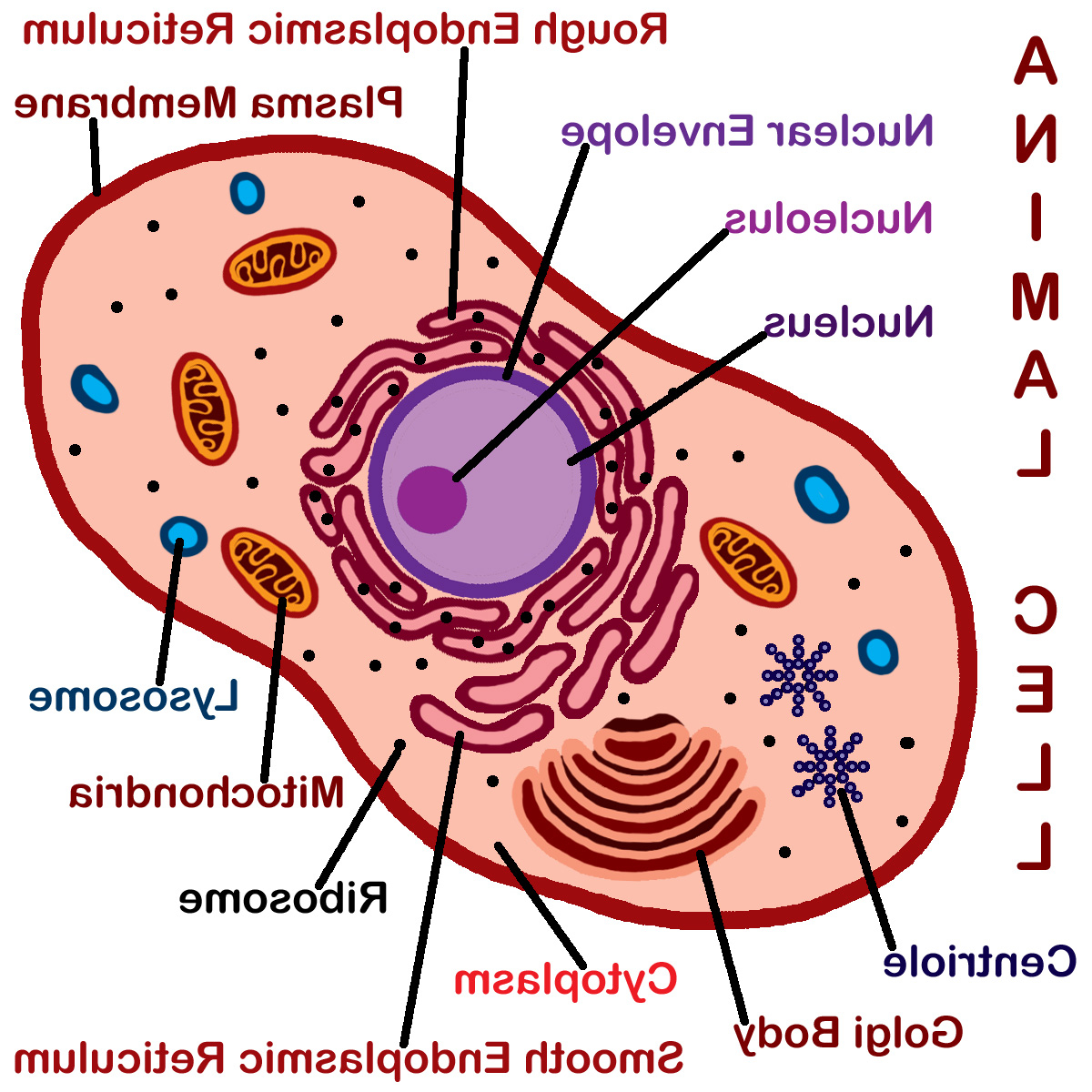 hight resolution of 1200x1200 animal cell drawing with labels animal cell unlabeled free