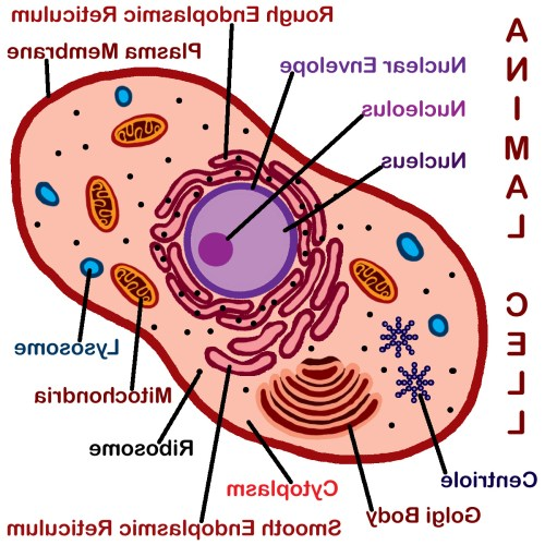 small resolution of 1200x1200 animal cell drawing with labels animal cell unlabeled free