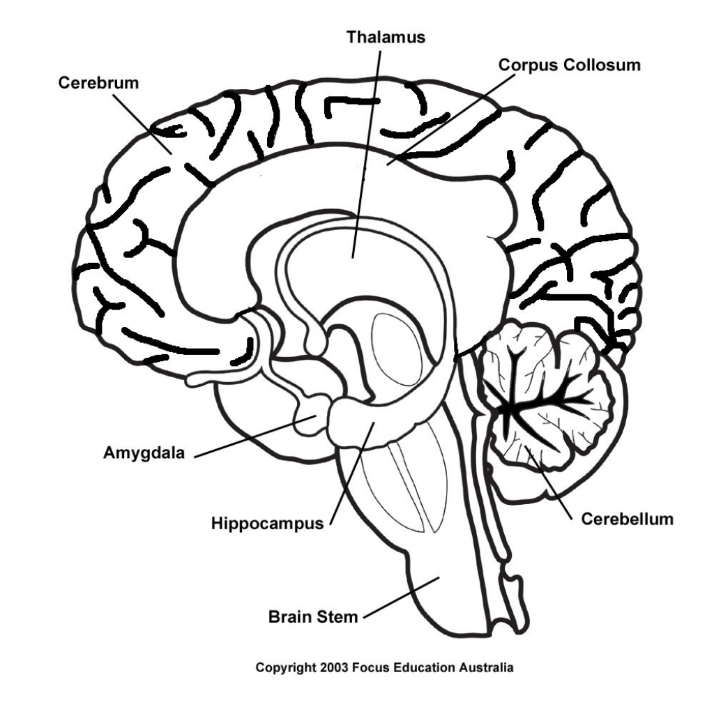 Simple Brain Diagram Worksheet