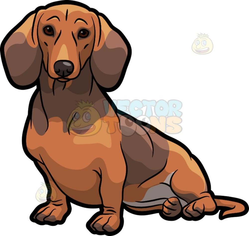 medium resolution of 1024x973 an adorable dachshund dog sitting down dachshund dog dachshunds