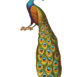 free peacock clipart [ 736 x 1103 Pixel ]