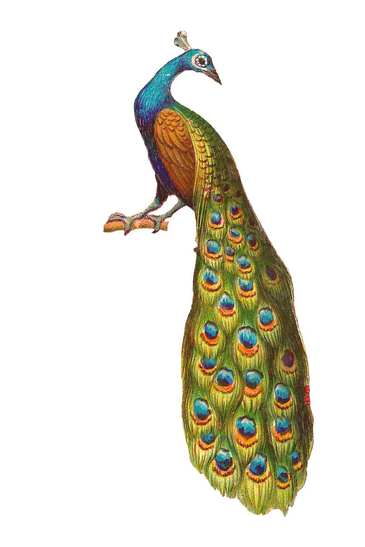 hight resolution of free peacock clipart
