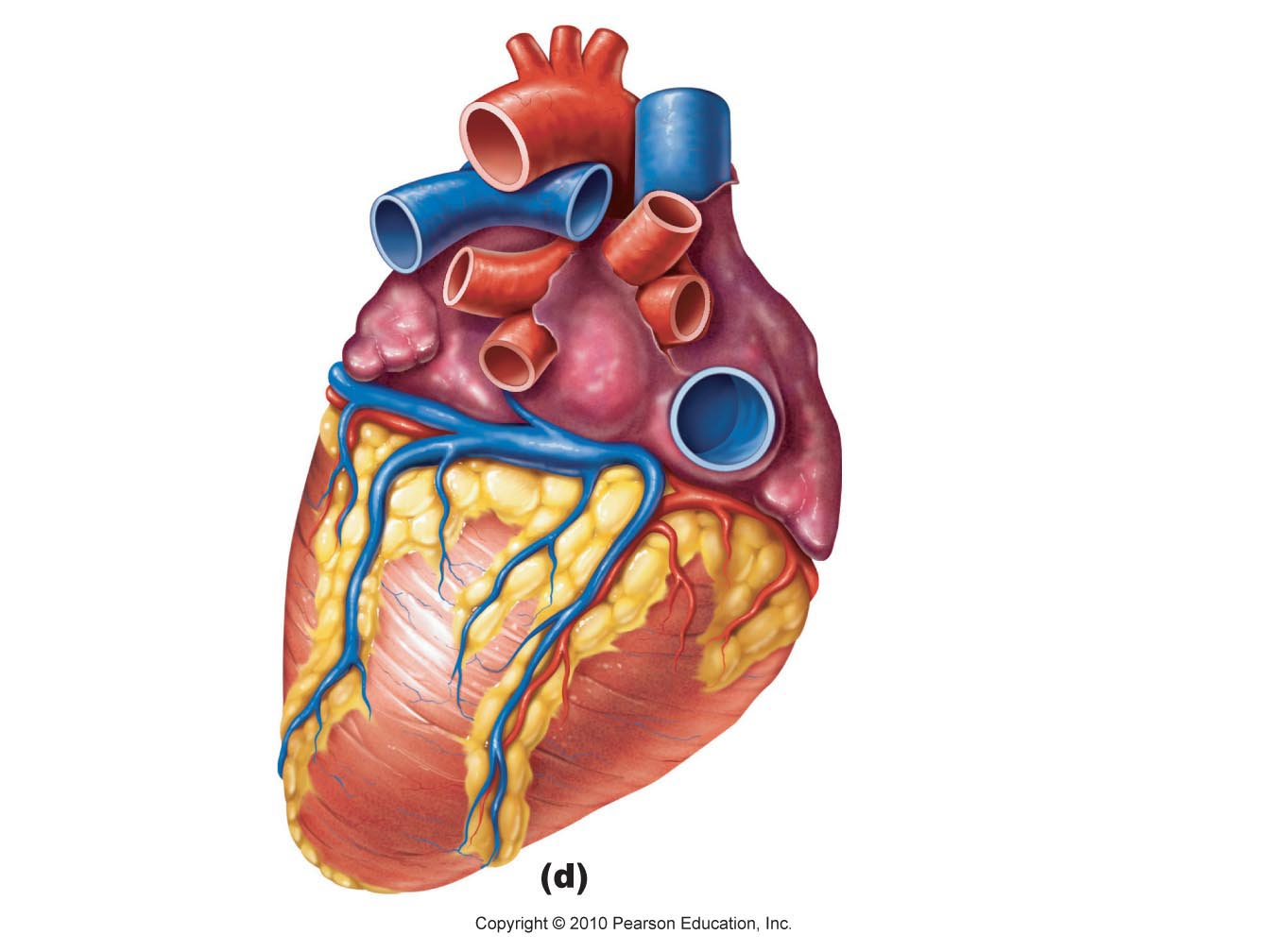 Human Heart Images