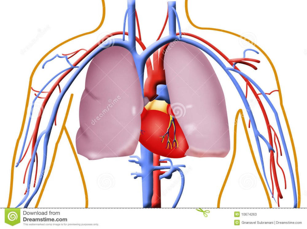 medium resolution of 1300x974 human heart and lung pictures
