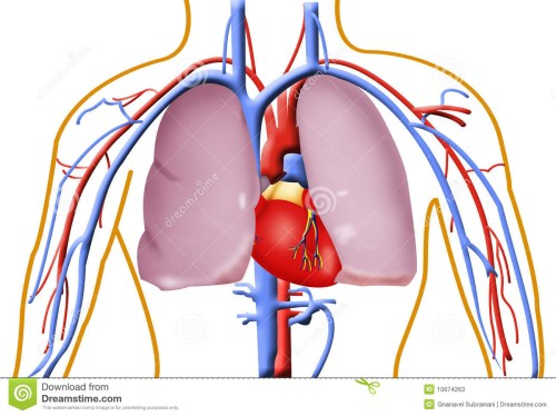small resolution of 1300x974 human heart and lung pictures
