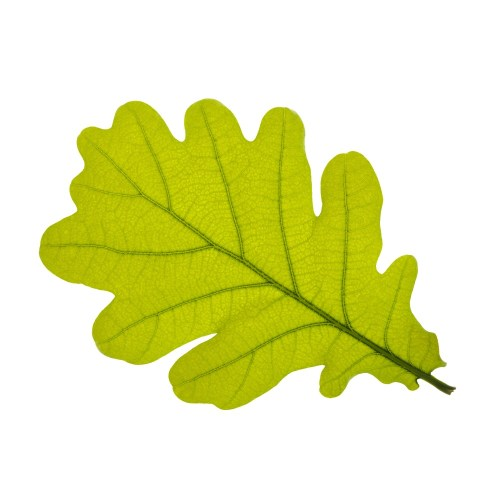 small resolution of 1000x1000 oak leaves clip art