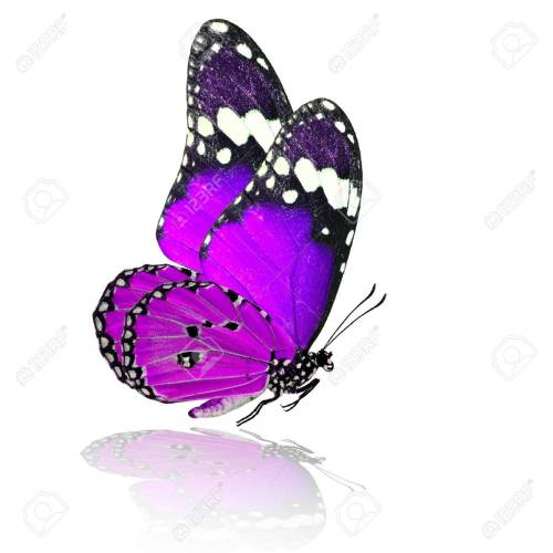small resolution of 1300x1300 purple butterfly stock photos royalty free purple butterfly
