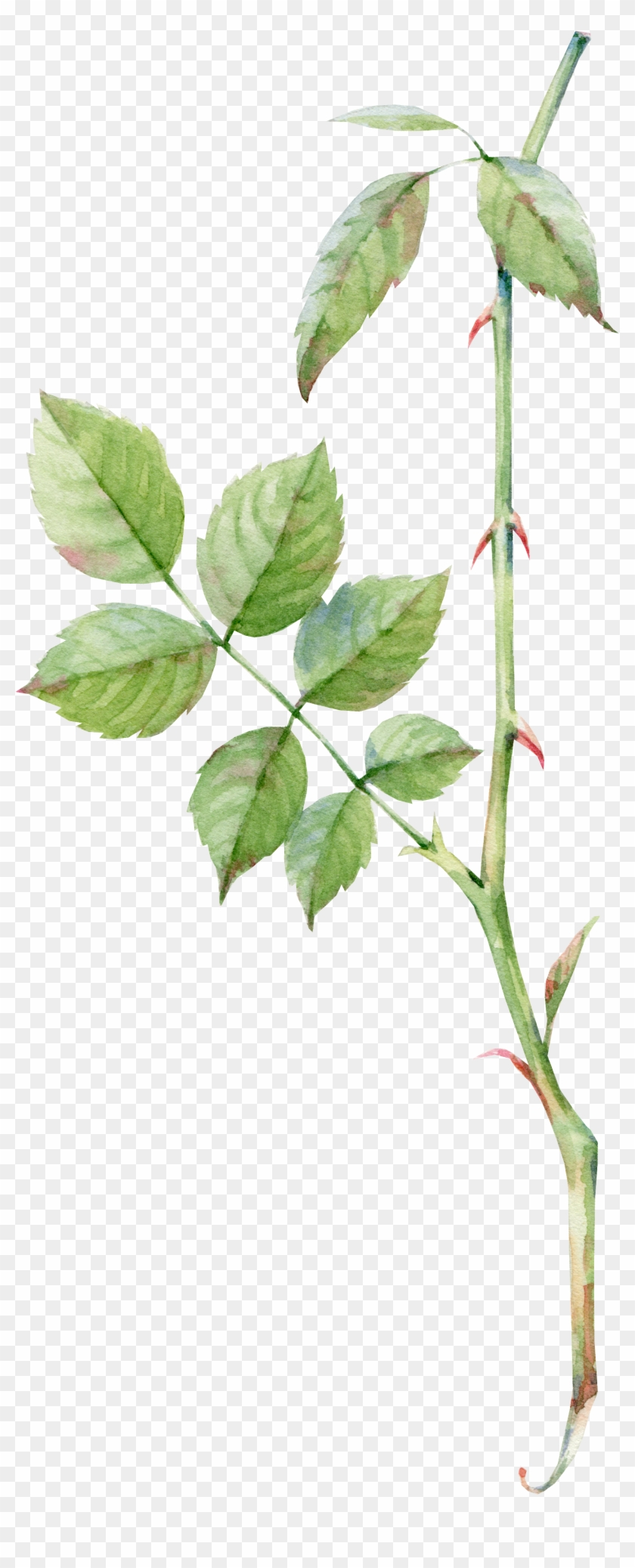 Rose Leaf Drawing : drawing, Watercolor, Painting, Drawing, Transparent, Clipart, Images, Download