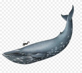 Humpback Whale Clip Art Blue Whale Png Free Transparent PNG Clipart Images Download