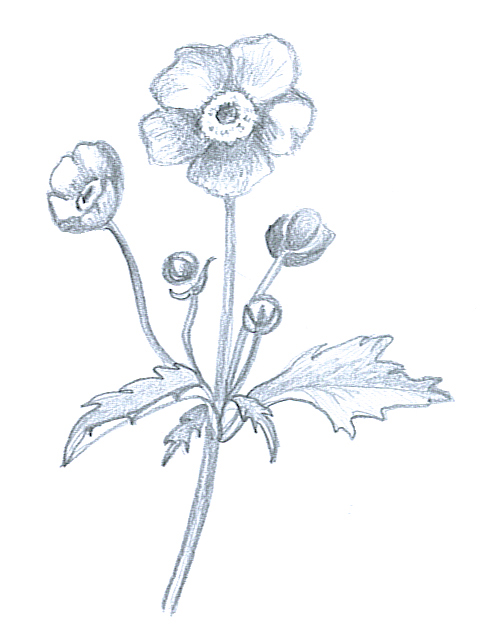 Anemone Flower Drawing : anemone, flower, drawing, Flower, Sketches