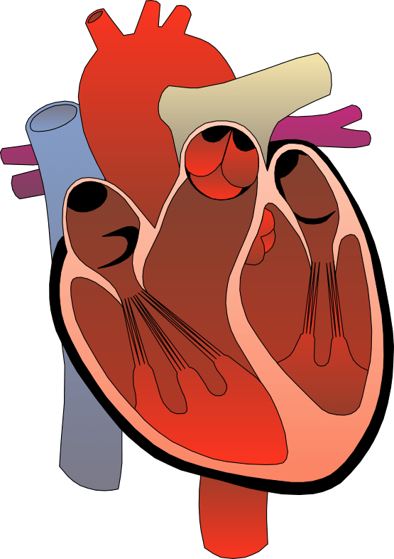 realistic heart diagram single pole light switch wiring animated human clipart