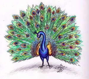 peacock draw drawing colored simple clipart huang diana deviantart cliparts colorful library drawings sketch tips project easy pencil animals clip