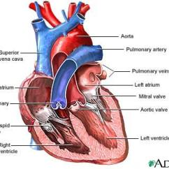 Realistic Heart Diagram 95 S10 Brake Light Switch Wiring Unlabeled Cliparts Co With Valves Maria Lombardic