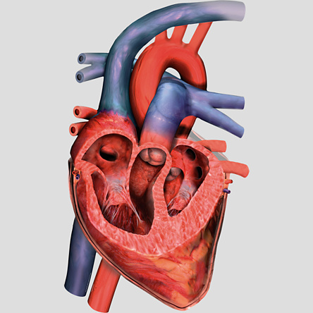 unlabeled heart diagram cross section plug socket wiring uk cliparts co image gallery for model