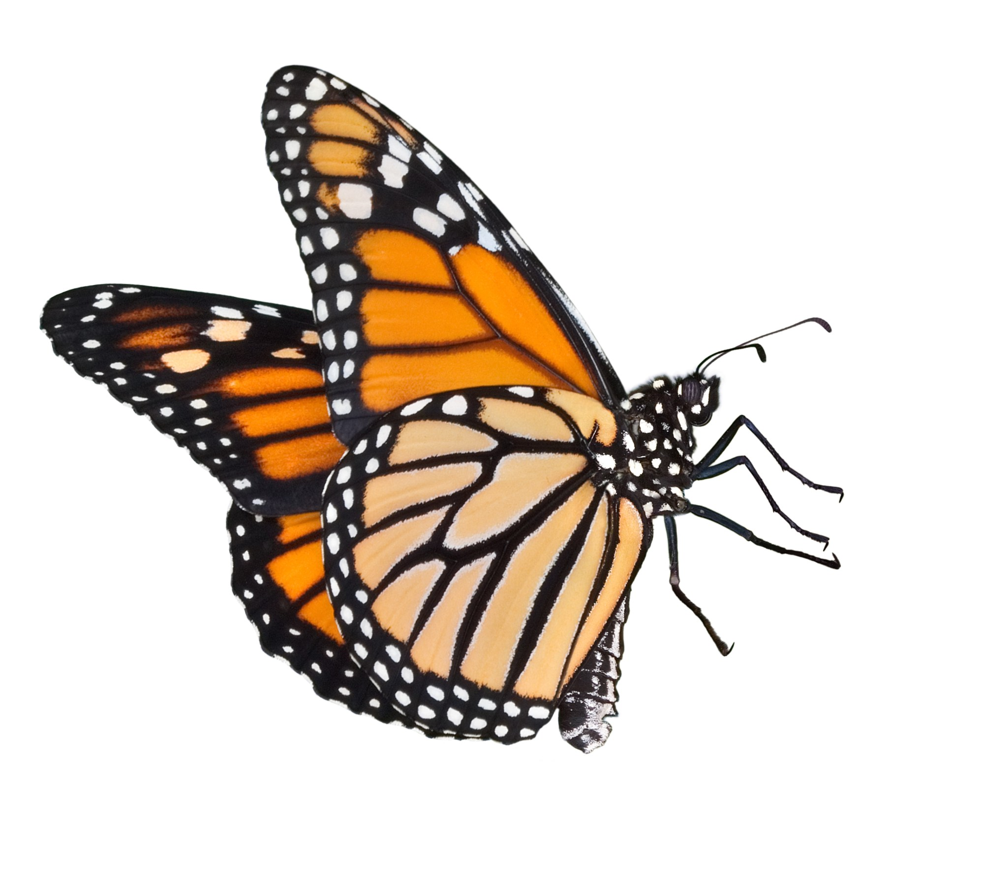 hight resolution of monarch butterfly clipart