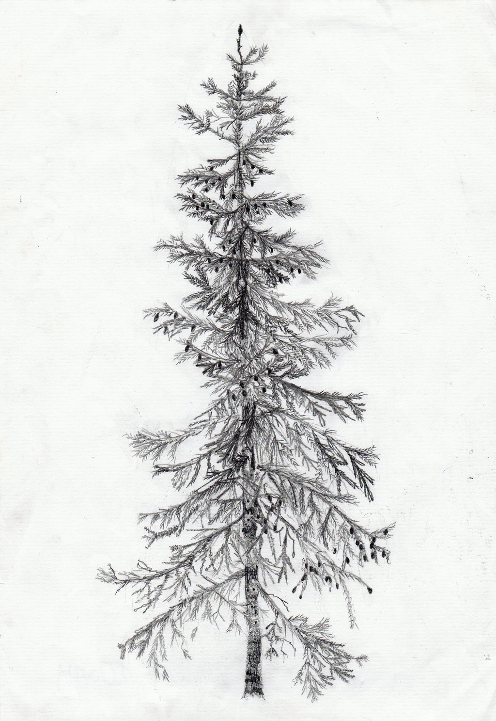 Spruce Drawing