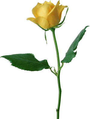 yellow rose clip cliparts clipart attribution forget link don