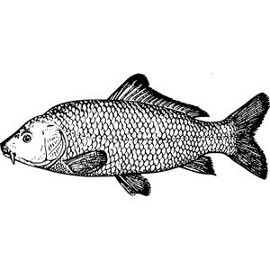 carp clipart, cliparts of carp free download (wmf, eps