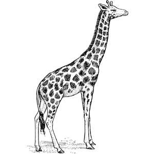 Giraffe clipart, cliparts of Giraffe free download (wmf