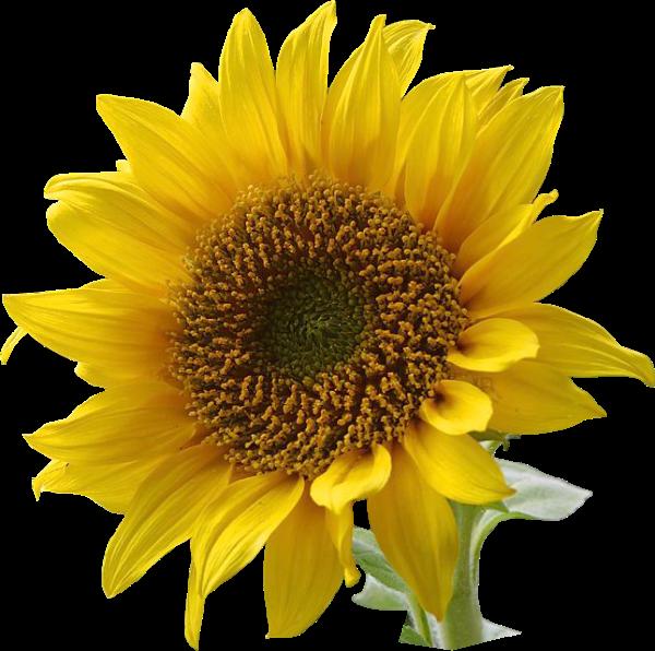 sunflower clip art clipart free