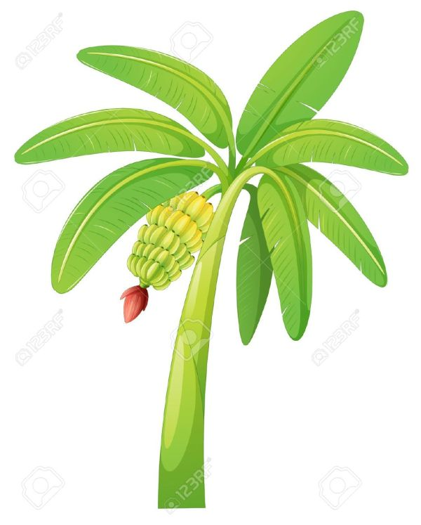 banana tree leaf clipart - clipground