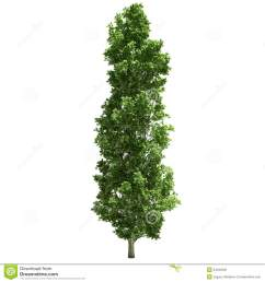 poplar tree single  [ 1300 x 1390 Pixel ]